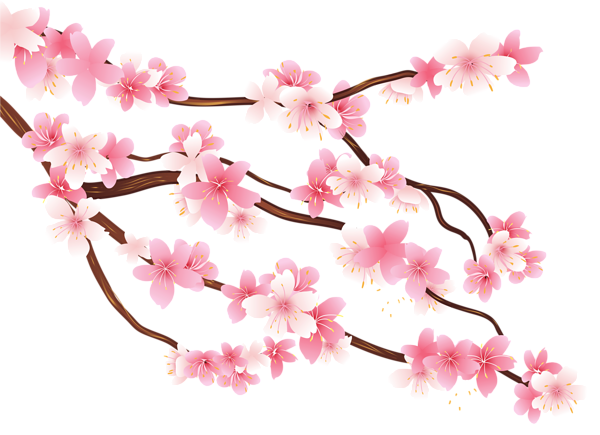 Cherry blossom branch png. Pink spring clipart image
