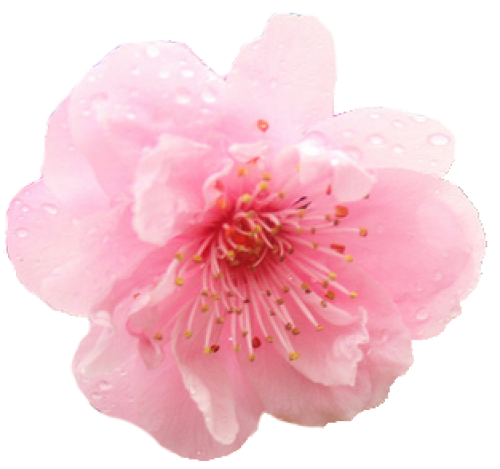 Blooming flower png. Cherry blossom