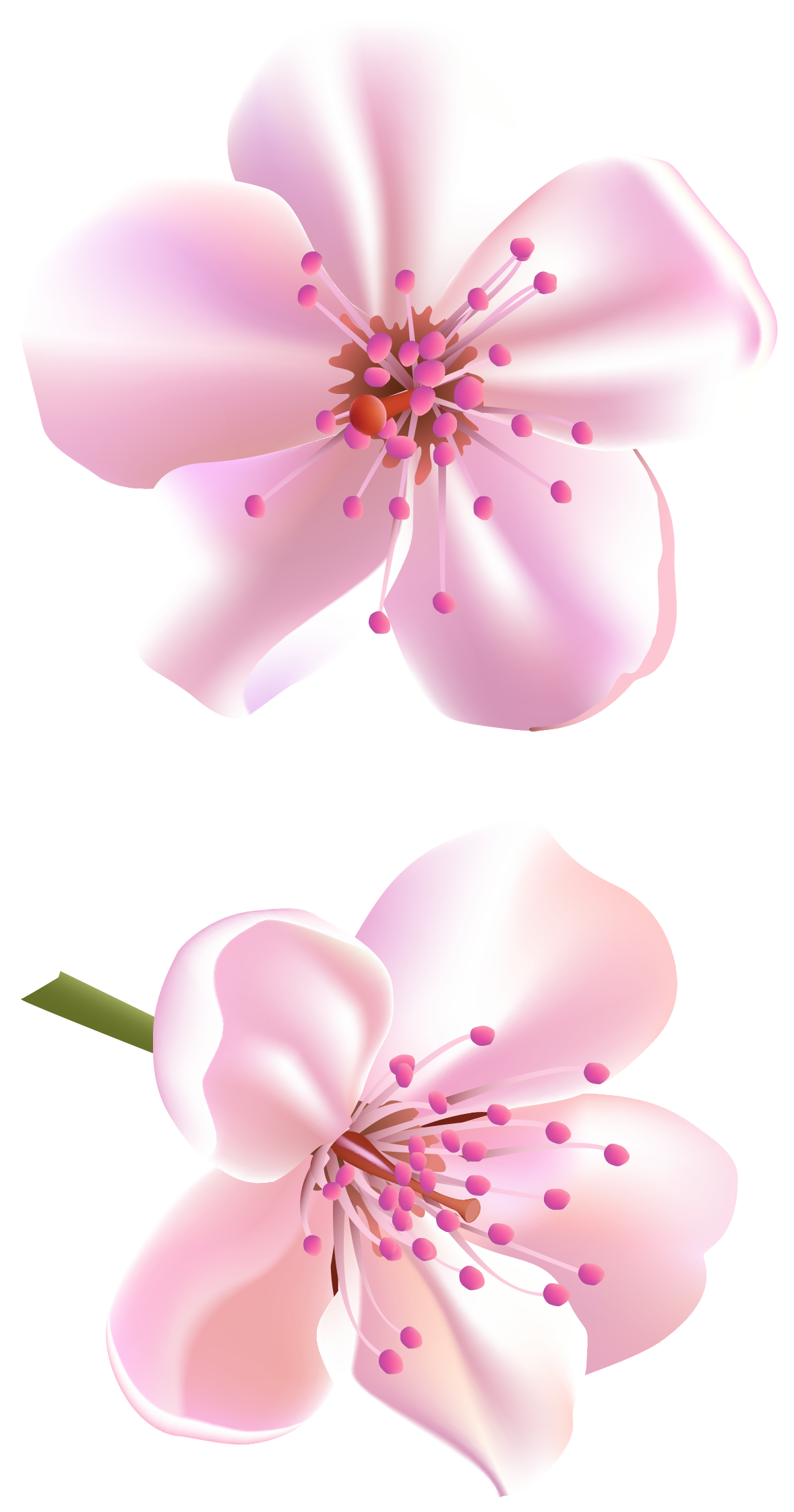 cherry blossom flower png