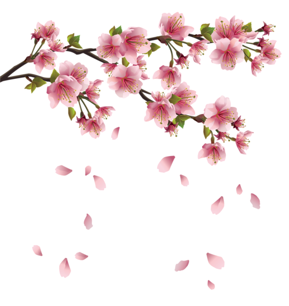 Cherry blossom petals falling png. Beautiful pink spring branch