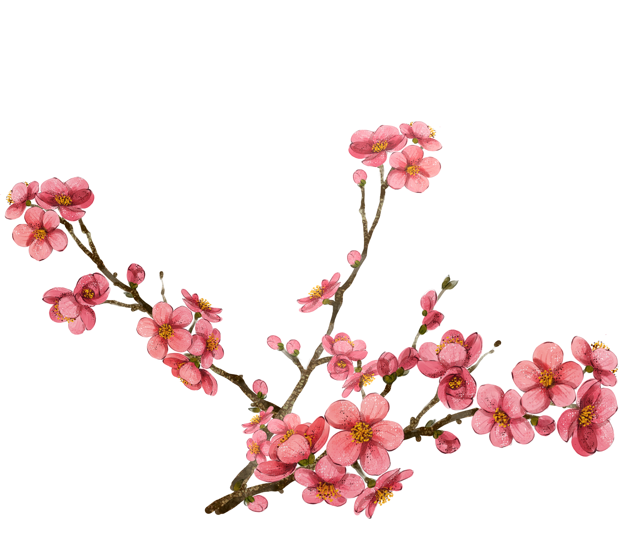 Cherry blossom png. Clipart at getdrawings com