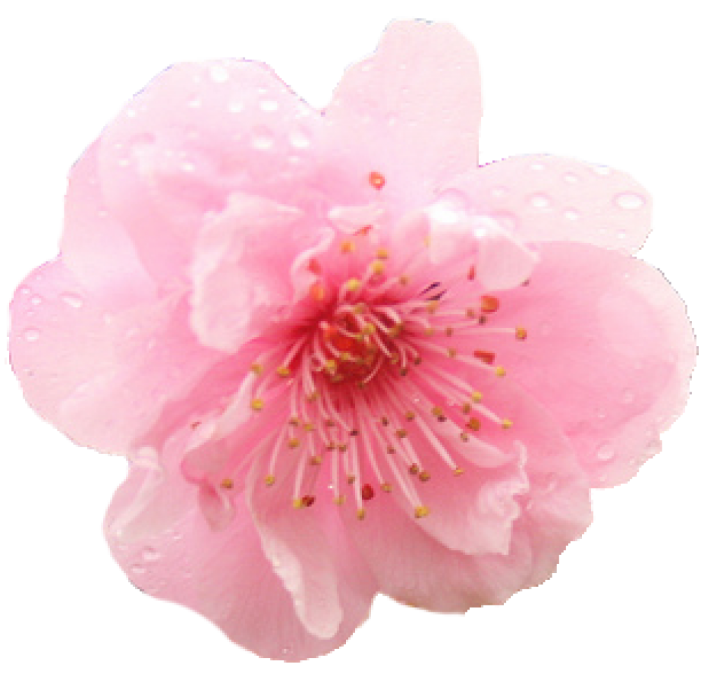 Cherry blossom png. Hd free icons and