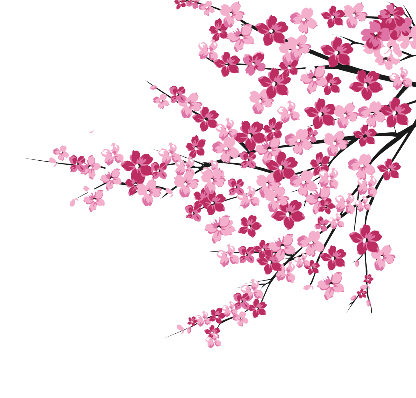 Cherry blossom tree branch png. Pink blossoms transprent free