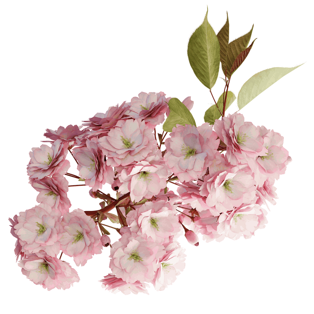 Japanese the grove d. Cherry blossom tree branch png clip art transparent stock