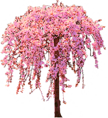 Cherry blossom tree png. Pink weeping at the