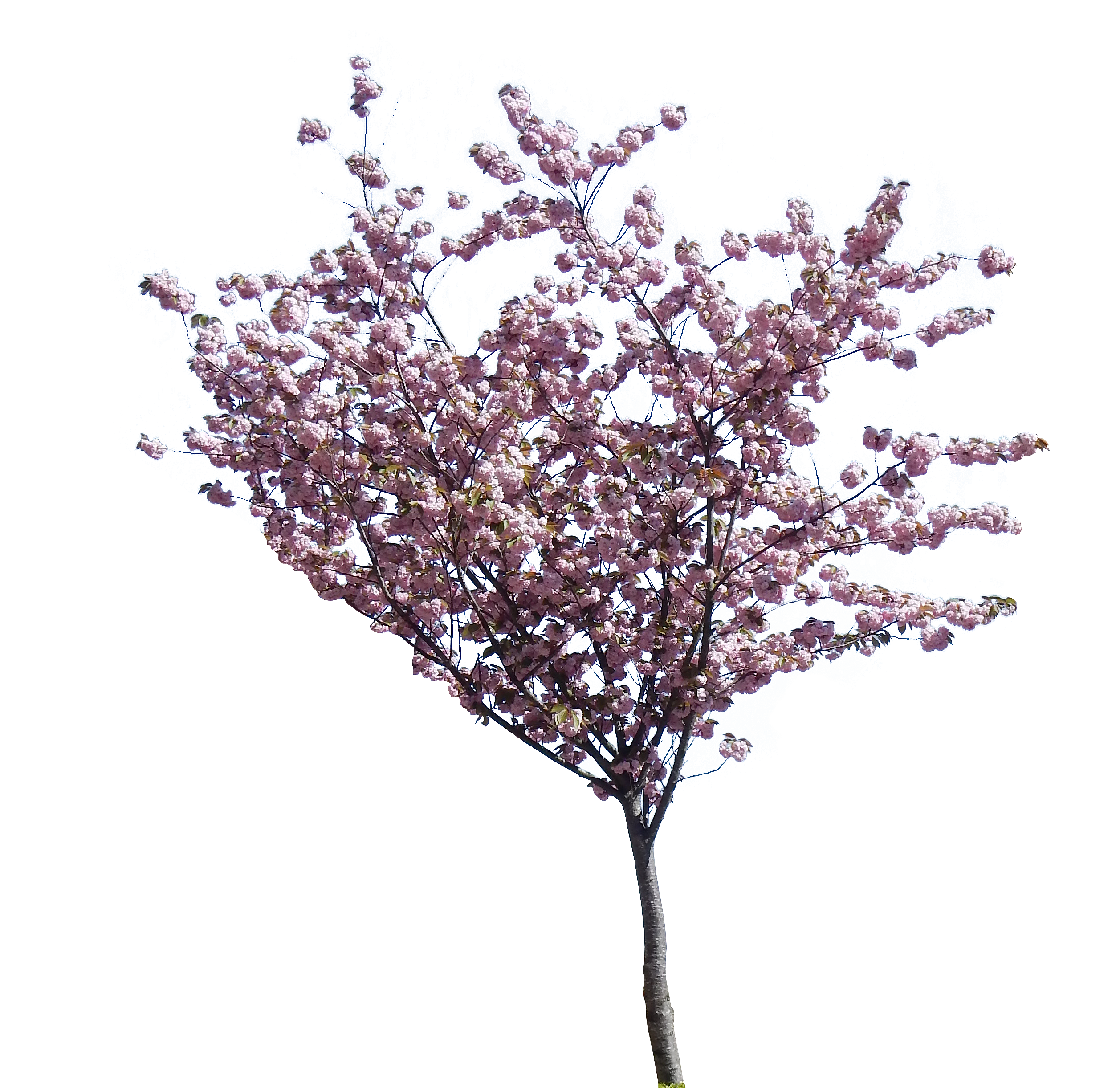 Cherry blossom tree png. Hd transparent shrub medium