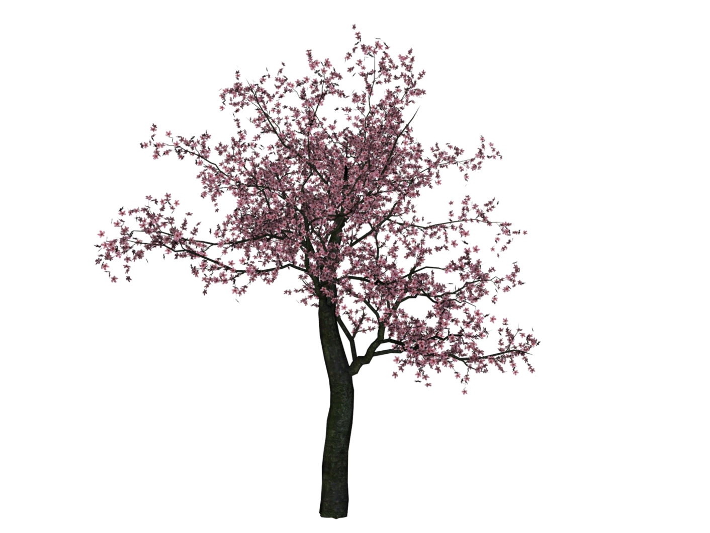 Cherry blossom tree png. Hd transparent image