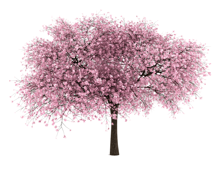 Blossom drawing sakura tree. Cherry png hd transparent