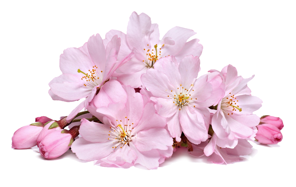 Cherry blossoms png. By lg design on