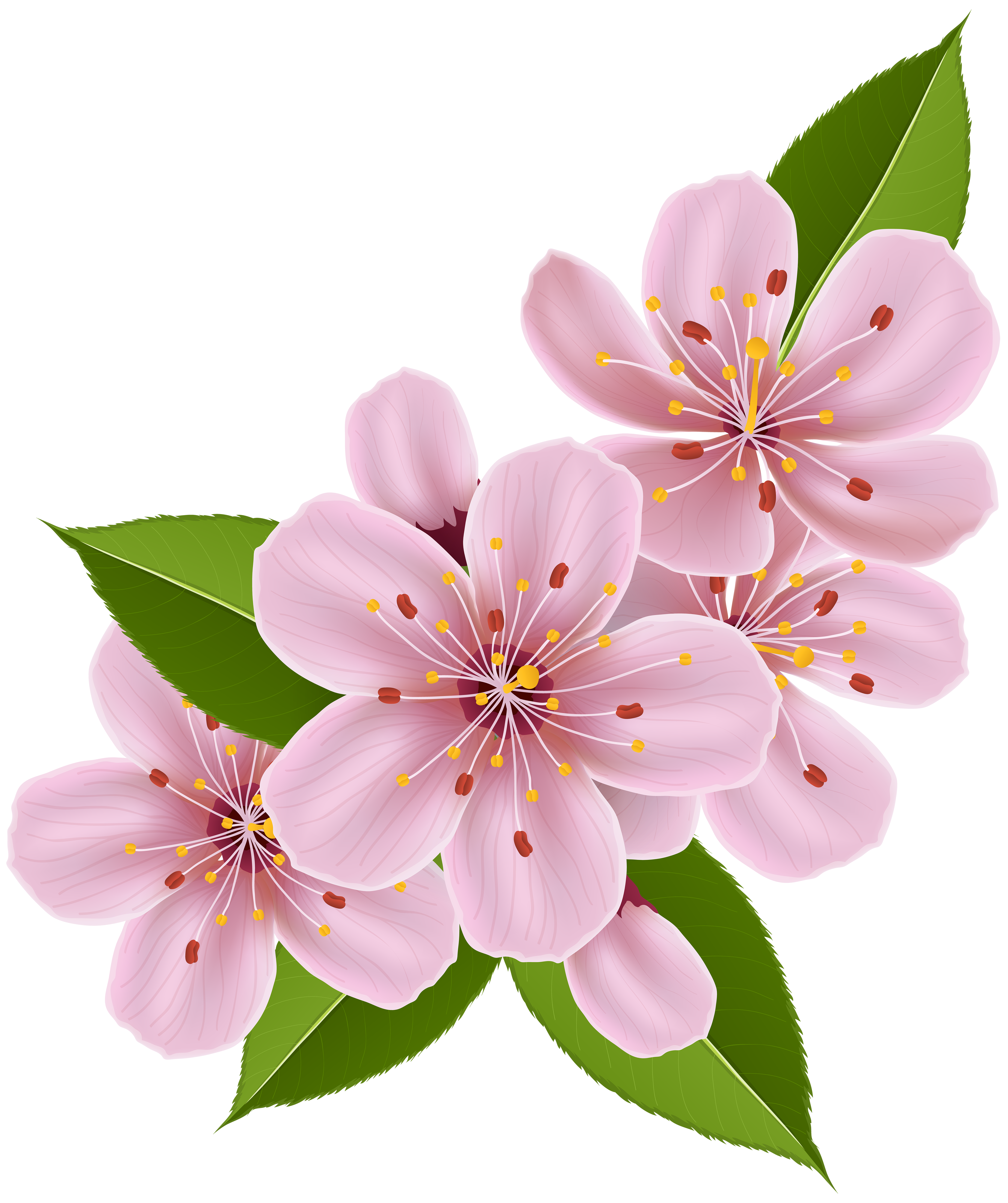 Spring flowers clip art. Cherry blossom png image download