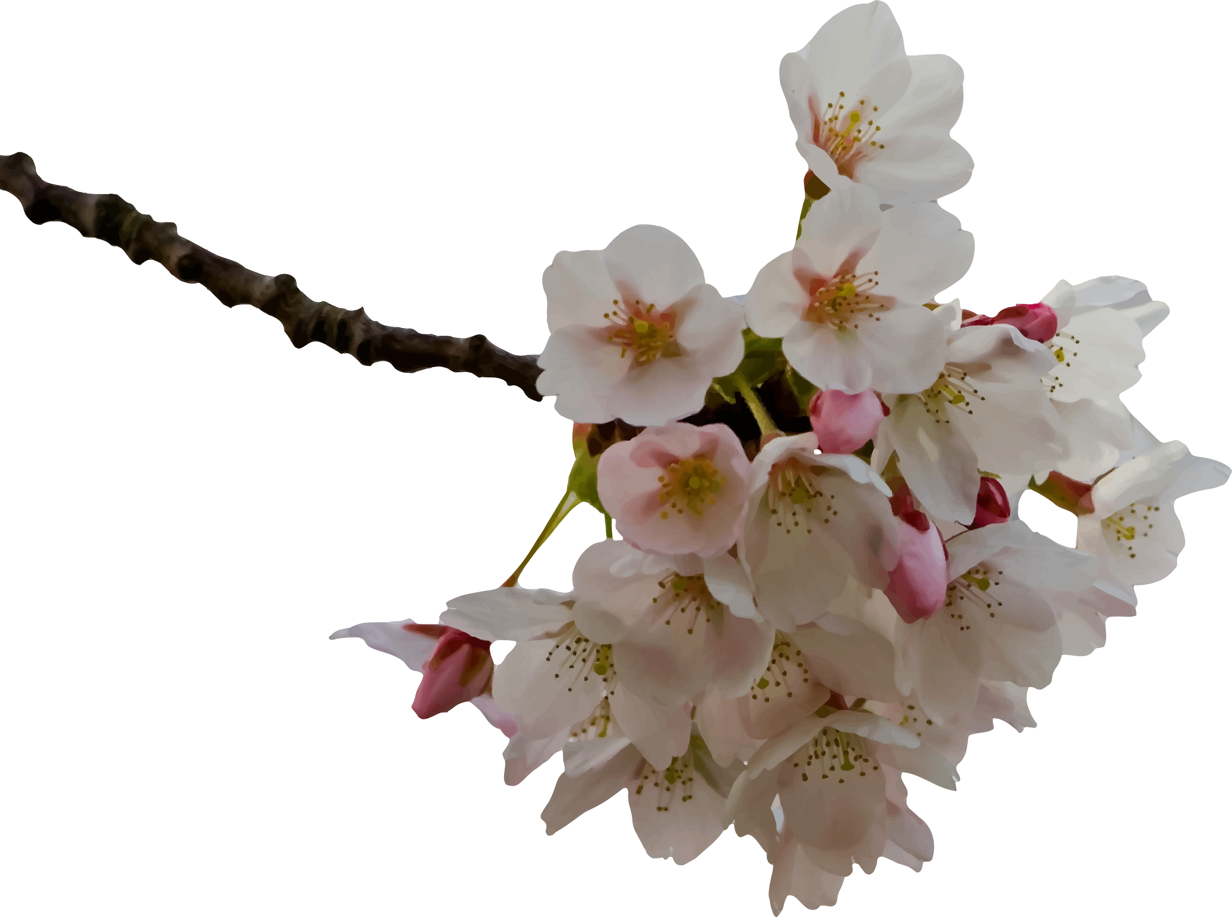 Cherry blossom png. Icons free and downloads
