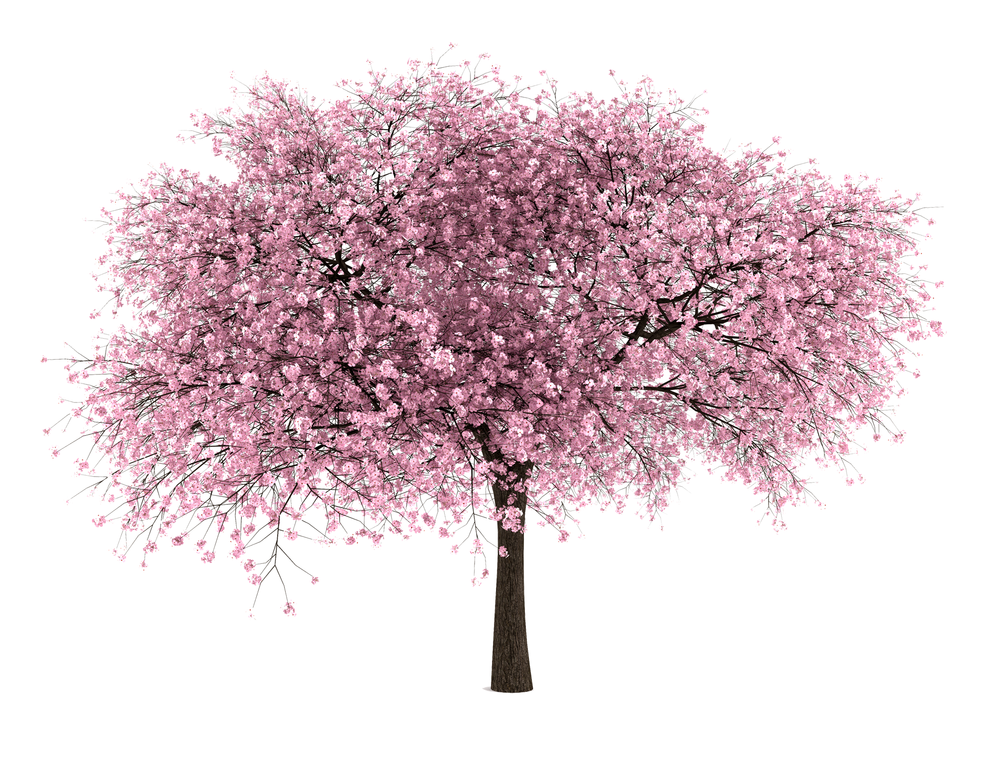 Magnolia Tree Transparent Png Clipart Free Download Ya Webdesign