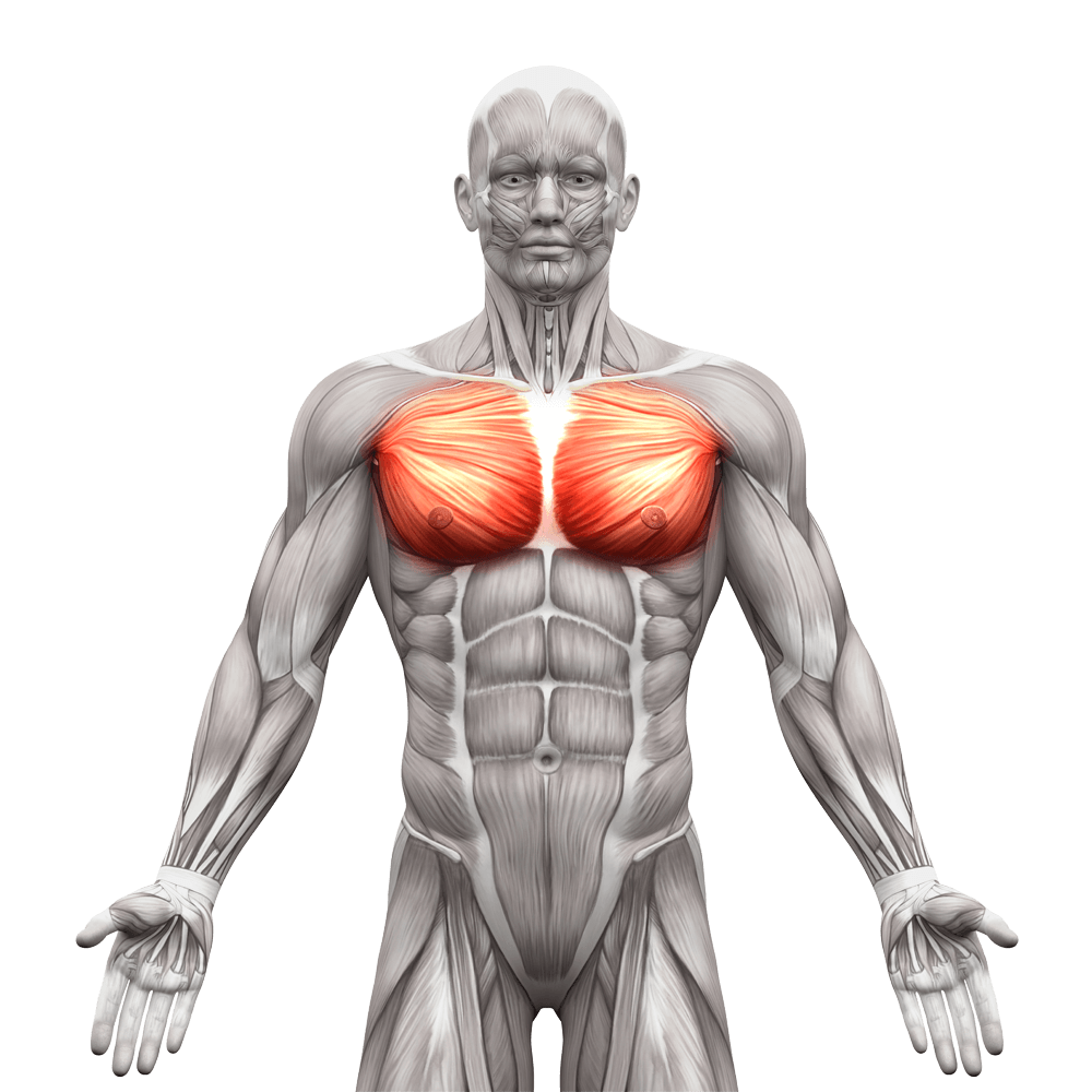 chest muscle png