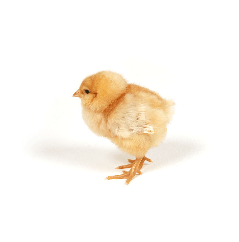 Chick transparent assorted. Emo feed service days