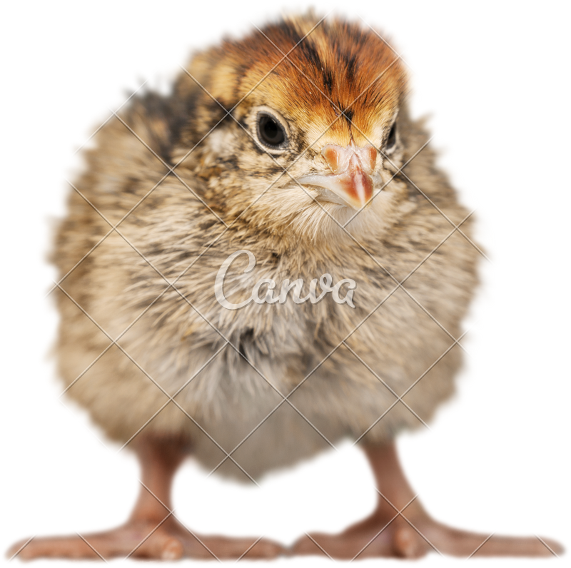 Chick transparent assorted. Baby chicken photos by