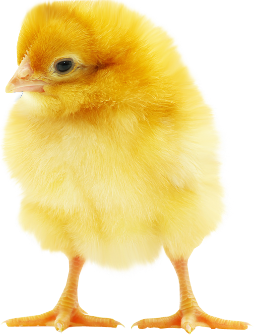 Chick transparent day old. About natnupreneur how can