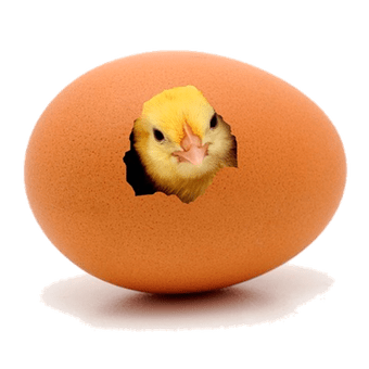 Chick transparent hatching. Time for chicks