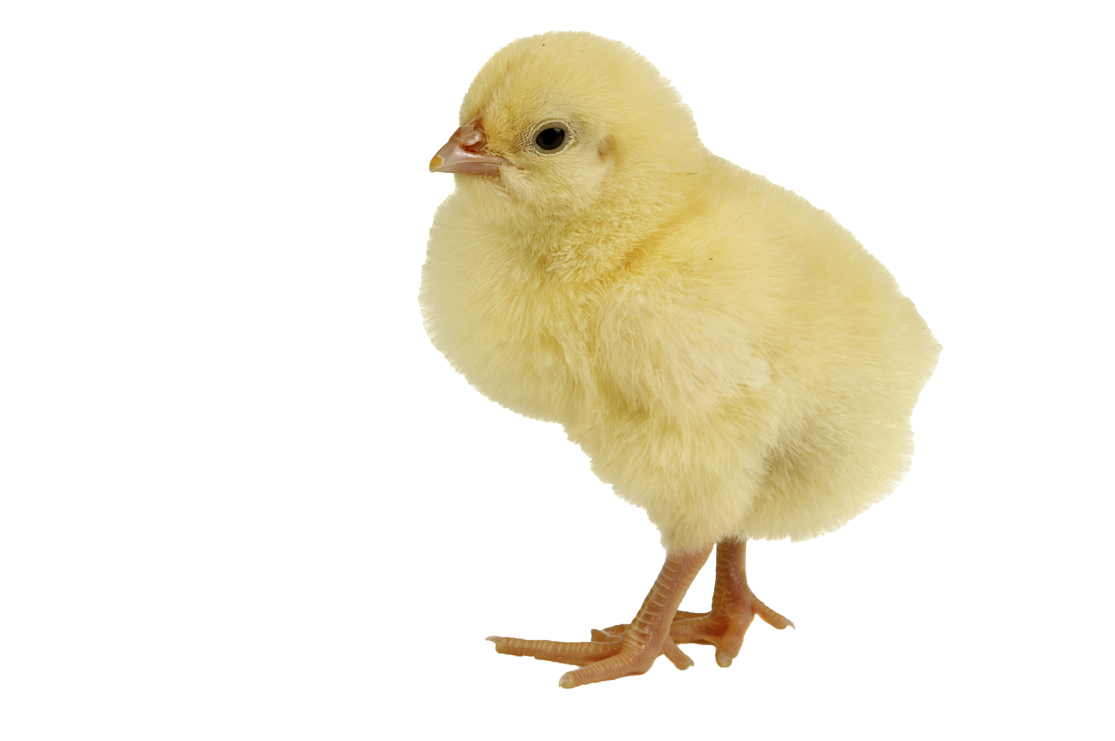 Chick transparent yellow. Chicken png pictures free