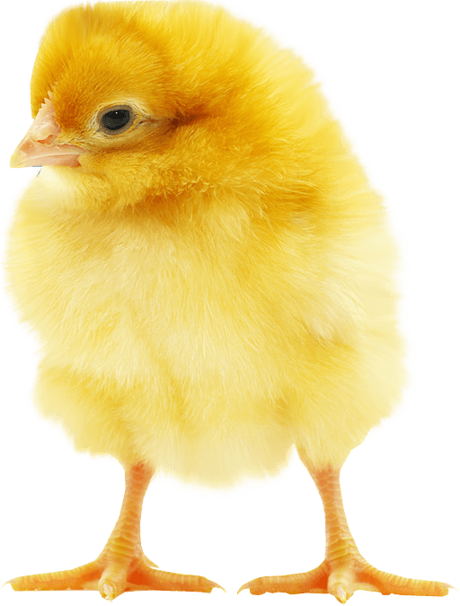 Chick transparent chicken. Fluffy yellow png stickpng