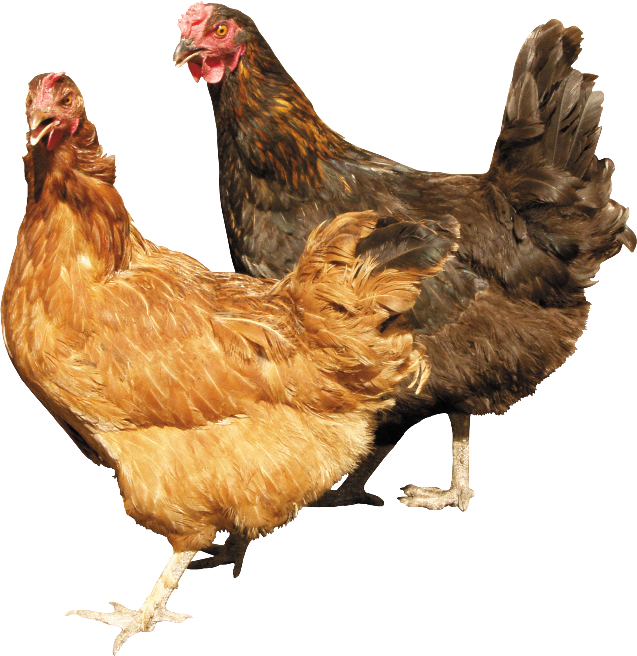 Chicken png image. Two chickens standing right