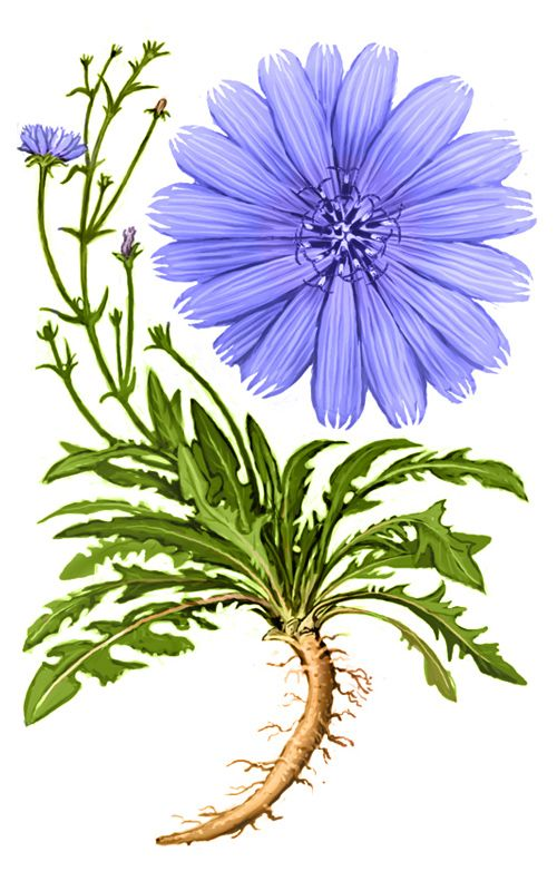Chicory. Stem may sport numerous