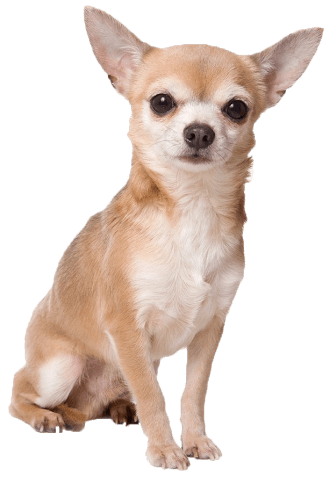 Chihuahua clipart. Papillon mix images gallery