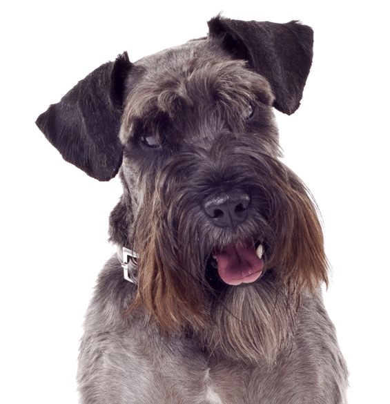 Dogs vector schnauzer. Mini clipart images gallery