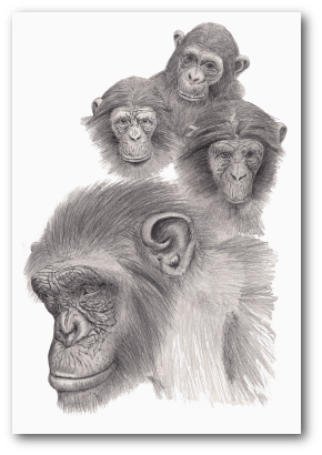 Chimp drawing realistic. Pencil drawings apes monkey