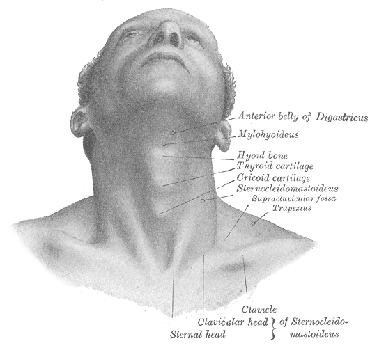 Chin drawing structure. Adam s apple wikipedia