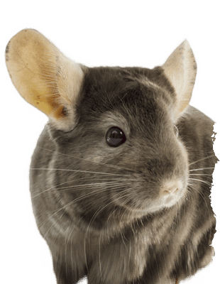 Chinchilla footprint png. D pet products