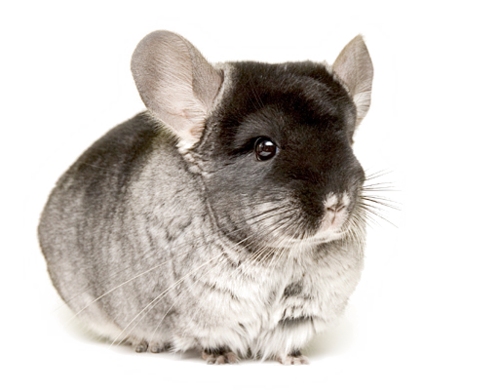 Chinchilla footprint png. Chingrey pet world warehouse
