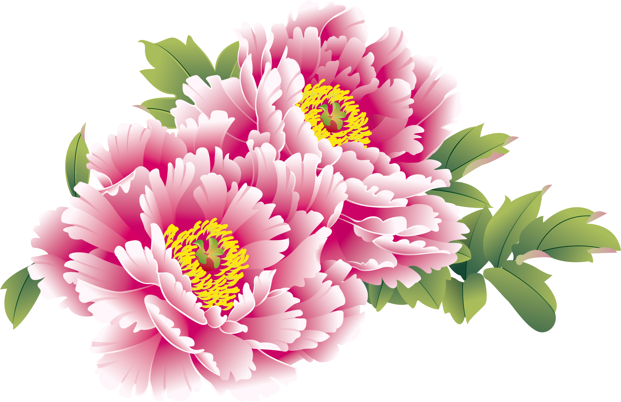 China moutan peony new. Chinese flowers png picture free