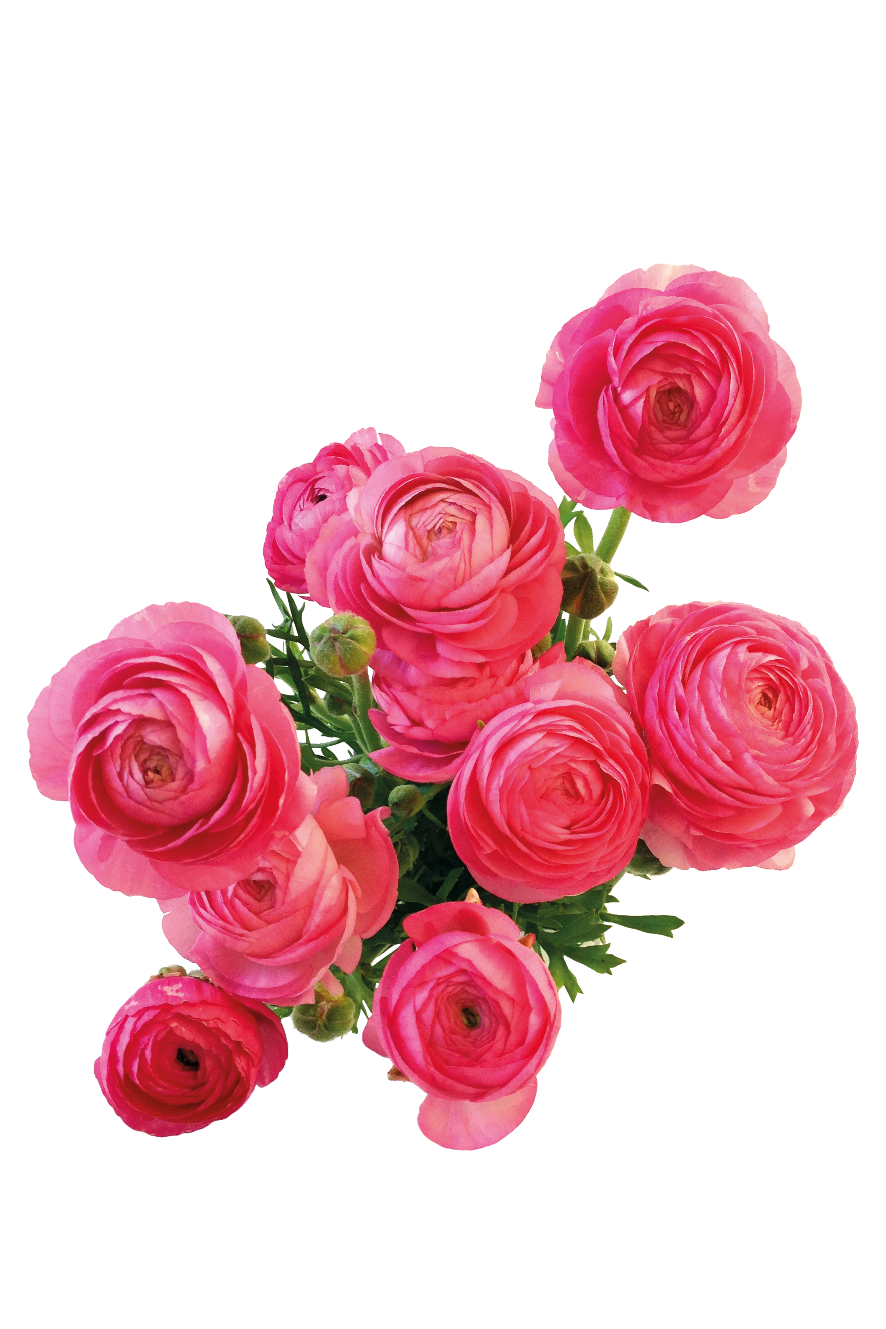 Flower photography android rose. Chinese flowers png clip library download