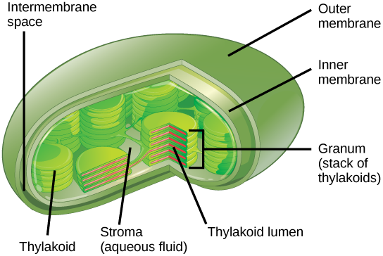 Chloroplast transparent simple. Pic clipart images gallery