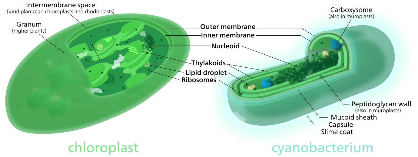 Chloroplast transparent dna. Wikiwand both chloroplasts and