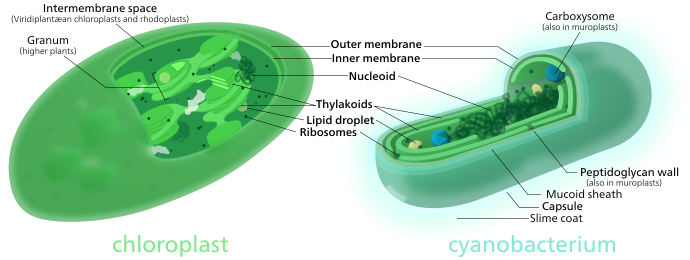 Chloroplast transparent kid. Wikipedia both chloroplasts and