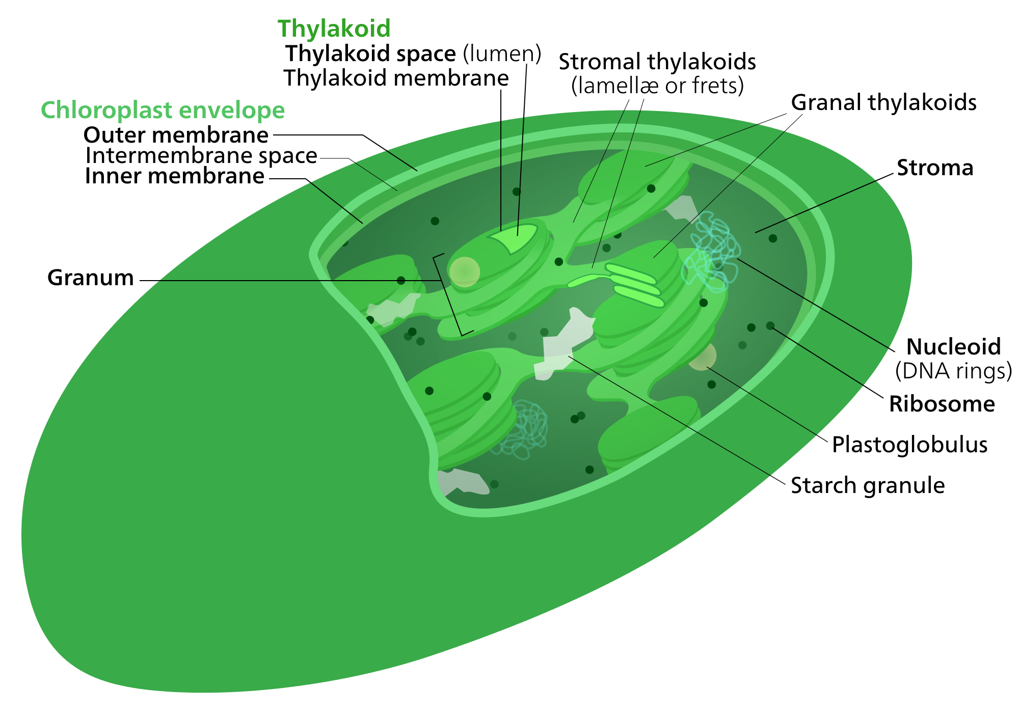 Chloroplast transparent wikipedia. Light independent reactions the