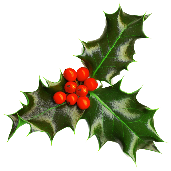 Christmas holly png. Transparent background image seasonal