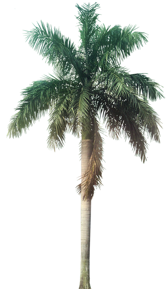 Tropical palm tree png. A collection of and