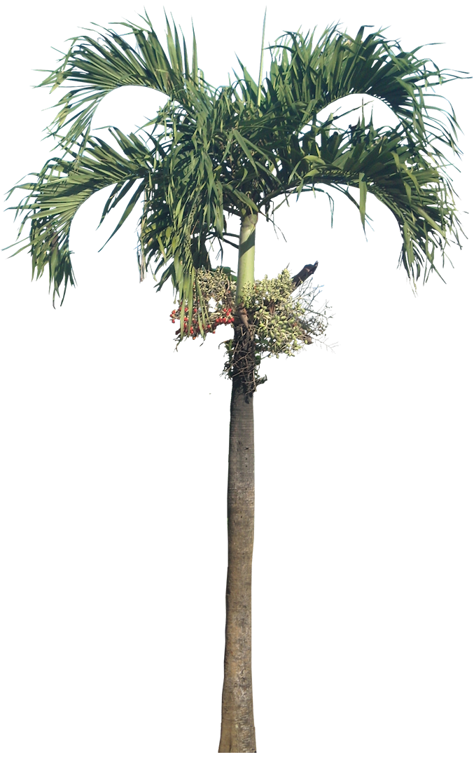 Royal palm png. Tropical plant pictures veitchia