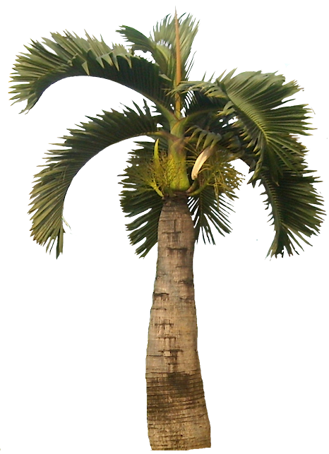 Canary palm png. Tropical plant pictures hyophorbe