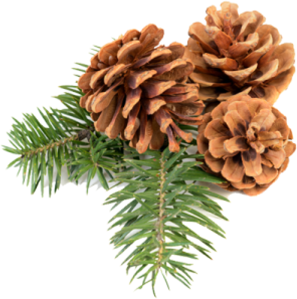 Christmas pine cone png. Download icon free cones