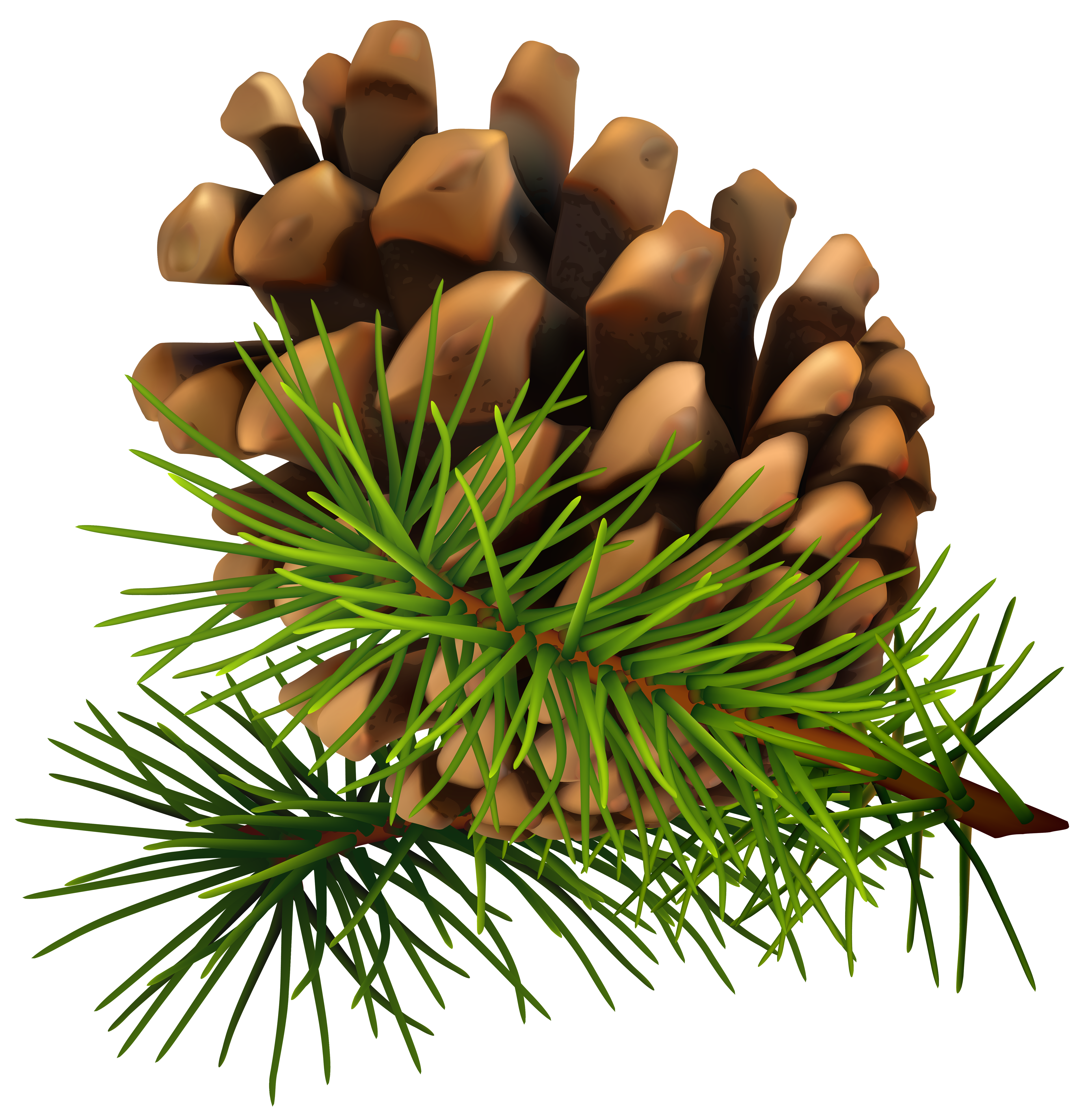 Twig drawing longleaf pine. Cone png clip art