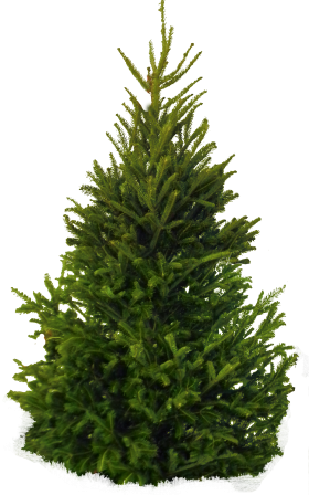 Christmas pine tree png. Fir image ps pinterest
