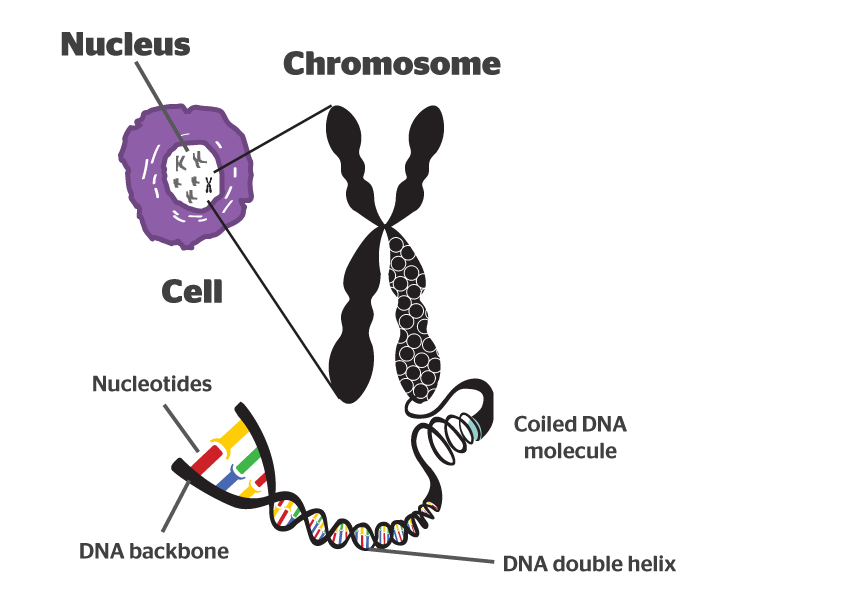 Chromatin drawing chromosome structure. Cell division copy on