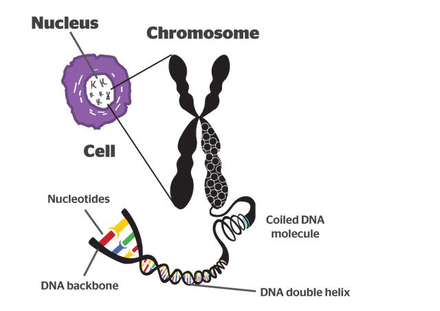Chromatin drawing coiled. Chromosome and biotechnology system