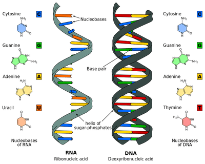 Chromatin drawing coiled. Dna replication process and