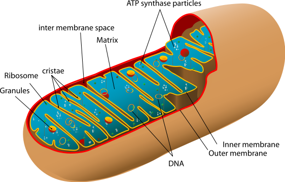 Chromatin drawing cytosol. Human physiology cell structure