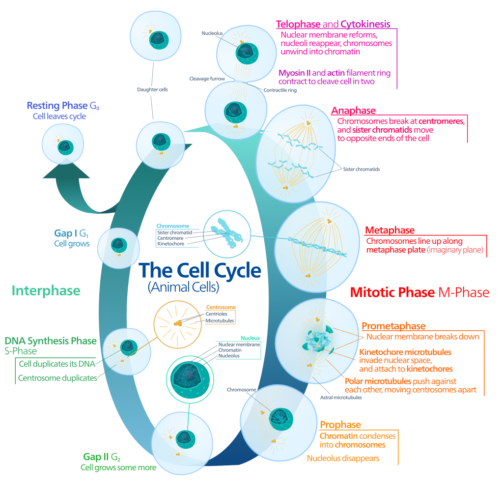 Svg events mitosis. The stages of science
