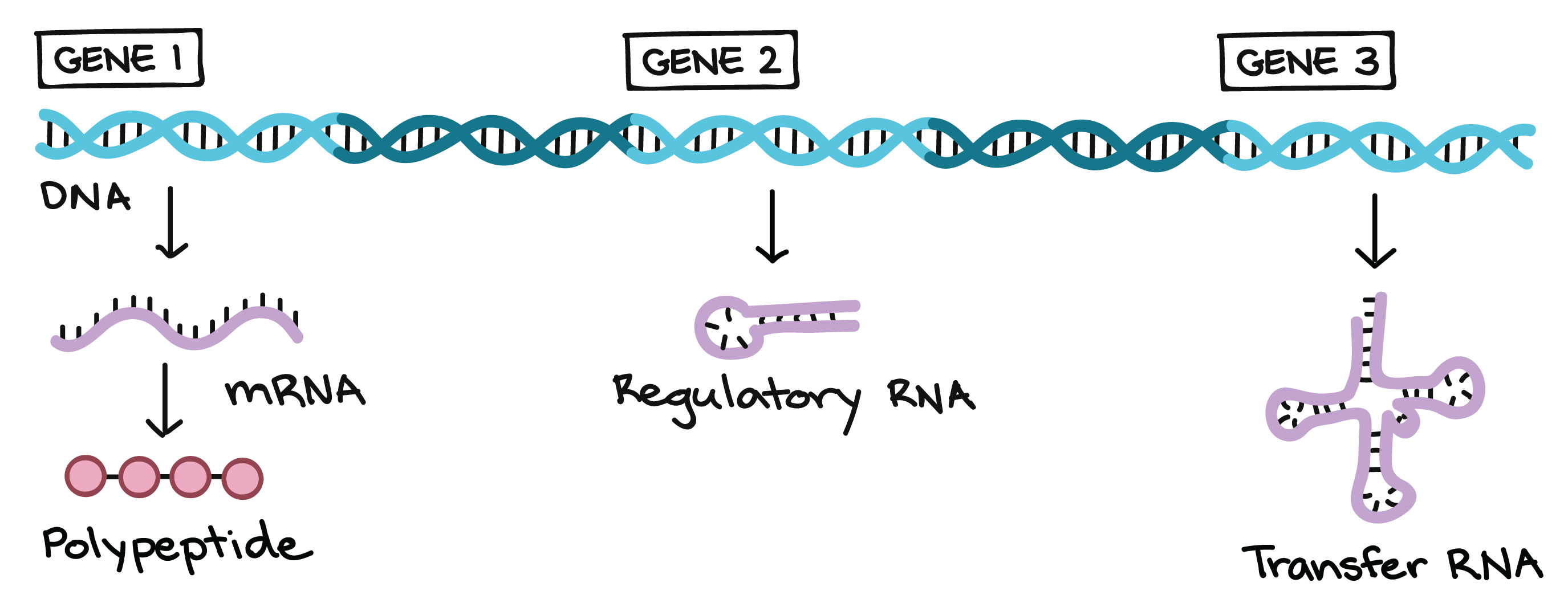 Biology drawing background. Dna replication and rna